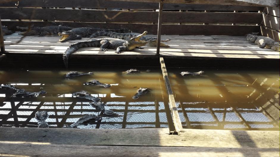 Cambodia - crocodiles in enclosure